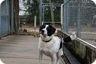 Border Collie/English Springer Spaniel Mix Dog for adoption in Aiken, South Carolina - Hiatt