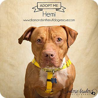 Pit Bull Terrier Mix Dog for adoption in Glenolden, Pennsylvania - Hemi
