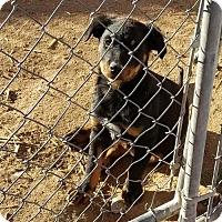 Adopt A Pet :: Shiloh - Tonopah, AZ