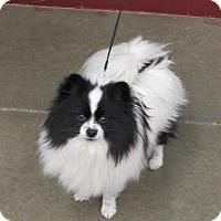 Adopt A Pet :: Dexter - Cameron, MO