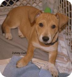 German Shepherd Dog/Basset Hound Mix Puppy for adoption in Alpharetta, Georgia - Johnny Cash