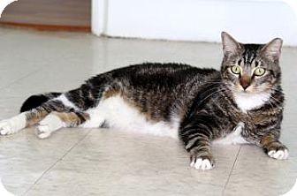 Domestic Shorthair Cat for adoption in Bradenton, Florida - Chuy