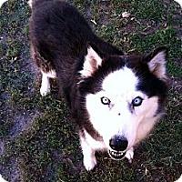 Adopt A Pet :: Lightning - Fort Riley, KS