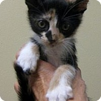 Adopt A Pet :: Canasta - Dallas, TX