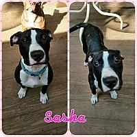 Adopt A Pet :: Sasha - bridgeport, CT