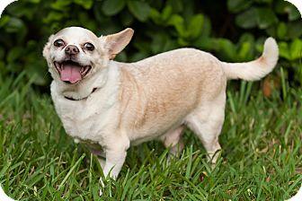Chihuahua Mix Dog for adoption in Palm Harbor, Florida - Big Boy