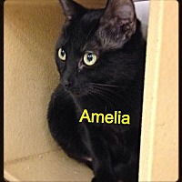 Domestic Shorthair Cat for adoption in Baton Rouge, Louisiana - Amelia