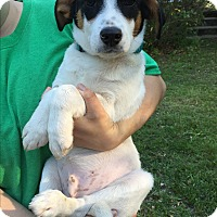 Adopt A Pet :: Bruiser - Starkville, MS