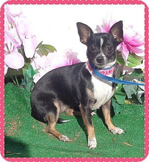 Chihuahua Dog for adoption in Marietta, Georgia - TUMBLEWEED (R)