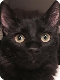 Maine Coon Cat for adoption in Santa Ana, California - Buckie