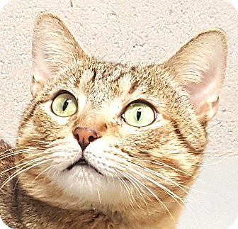 American Shorthair Cat for adoption in Friendswood, Texas - George