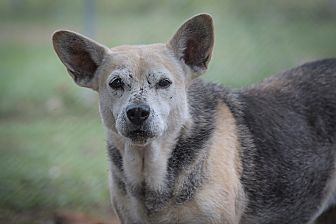 German Shepherd Dog/Beagle Mix Dog for adoption in Key Biscayne, Florida - Betty