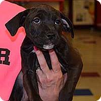 Adopt A Pet :: Pearl's Paul - Chantilly, VA