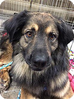 Collie/German Shepherd Dog Mix Dog for adoption in Mount Airy, North Carolina - Jeff