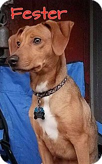 Bloodhound Mix Dog for adoption in WESTMINSTER, Maryland - Fester