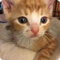 Adopt A Pet :: MAX - Lakewood, CA
