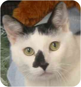 Domestic Shorthair Cat for adoption in Plainview, New York - Jackson