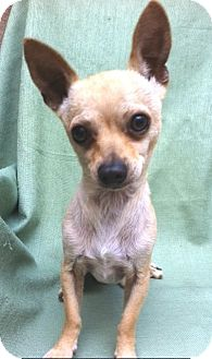 Chihuahua Dog for adoption in Irvine, California - LUCKY