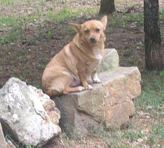 Chihuahua Mix Dog for adoption in Waldron, Arkansas - MITZI BARKLEY