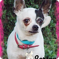 Chihuahua Mix Dog for adoption in Anaheim Hills, California - Jersey