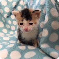 Adopt A Pet :: Pip - Union, KY