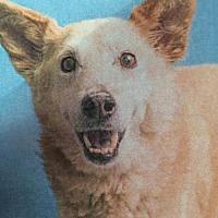 Adopt A Pet :: HAROLD - Chandler, AZ