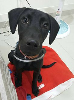 Labrador Retriever/Retriever (Unknown Type) Mix Puppy for adoption in menlo park, California - Heidi