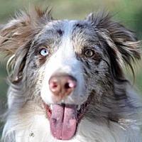Australian Shepherd Dog for adoption in Dodson, Montana - Jai