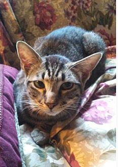 Domestic Shorthair Cat for adoption in Marion, North Carolina - Ricky