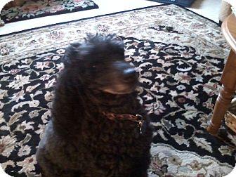 Miniature Poodle Mix Dog for adoption in Bellingham, Washington - Ronnie