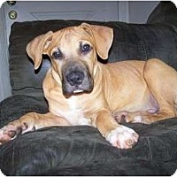 Adopt A Pet :: Sampson - ARDEN, NC