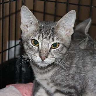 Domestic Shorthair Cat for adoption in Richmond, Virginia - Hansel