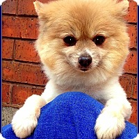 Adopt A Pet :: ROMEO in Wichita, KS. - Seymour, MO
