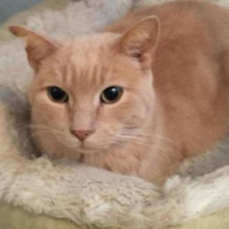 Domestic Shorthair Cat for adoption in Kohler, Wisconsin - Tags