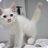 Adopt A Pet :: Mao (Flame Point Siamese) - New Smyrna Beach, FL