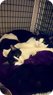 Domestic Shorthair Cat for adoption in yuba city, California - Lexi&Luther