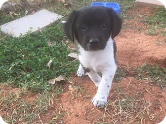 Labrador Retriever/Australian Shepherd Mix Puppy for adoption in Yukon, Oklahoma - Lisa's Squiggles