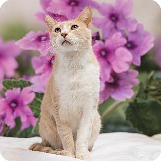 Domestic Shorthair Cat for adoption in Houston, Texas - Samson