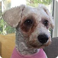 Adopt A Pet :: Laci - La Costa, CA