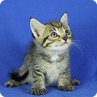 Adopt A Pet :: Captain America - Winston-Salem, NC
