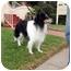 Photo 3 - Sheltie, Shetland Sheepdog/Border Collie Mix Dog for adoption in San Diego, California - Sammy