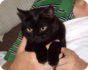 Domestic Shorthair Cat for adoption in Scottsdale, Arizona - Angel--urgent home needed