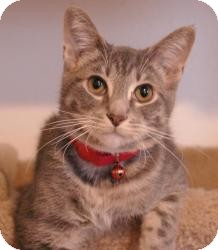 Domestic Shorthair Cat for adoption in Sacramento, California - Bernie