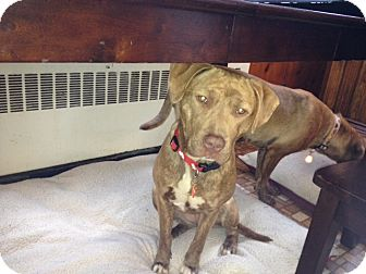 Labrador Retriever/Pit Bull Terrier Mix Dog for adoption in Manchester, Connecticut - Ruby