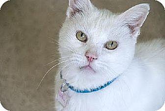 Domestic Shorthair Cat for adoption in Seal Beach, California - Tofu