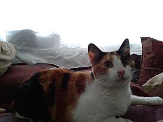 Calico Cat for adoption in Monrovia, California - Athena