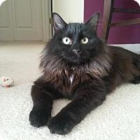 Adopt A Pet :: Coco Puff-Love Bug! - Arlington, VA