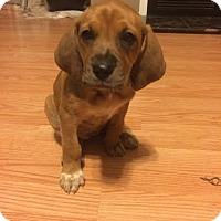 Adopt A Pet :: Pocus - Millersville, MD