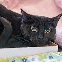 Domestic Shorthair Cat for adoption in New York, New York - Crystal