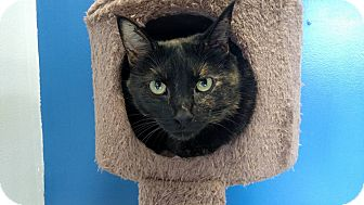 Domestic Shorthair Cat for adoption in Austintown, Ohio - Pearl